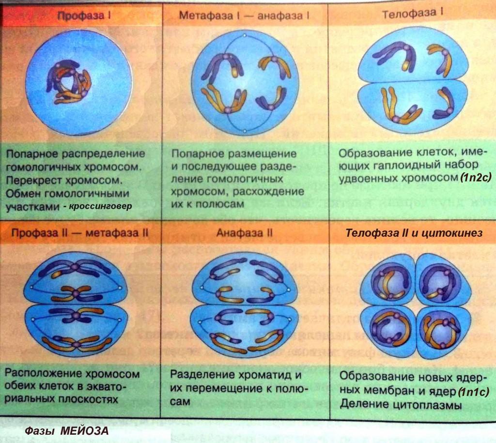 митоз и мейоз фазы рисунок