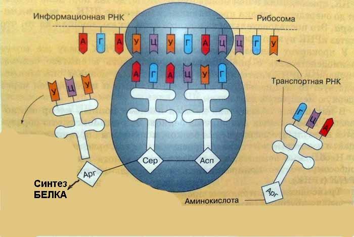 Bio- matrica a prosztatitisből