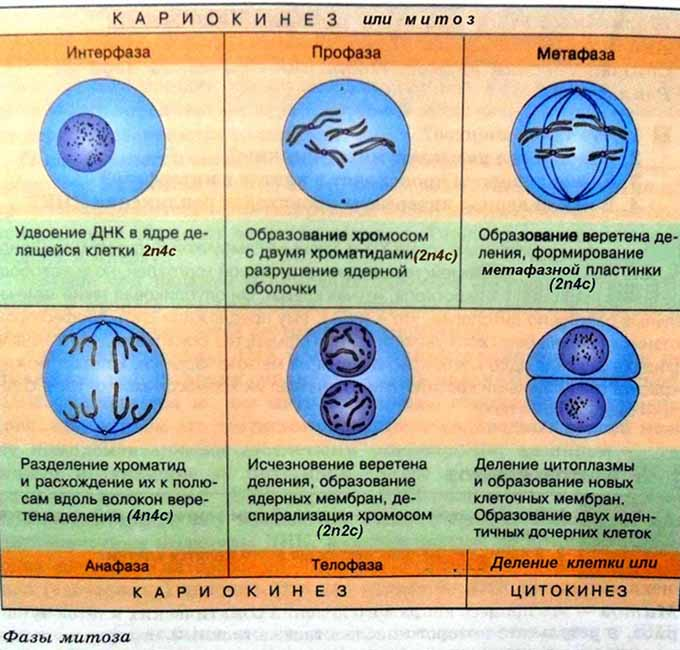 Правильное чередование фаз митоза