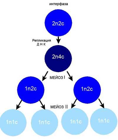 Схема митозу и мейозу