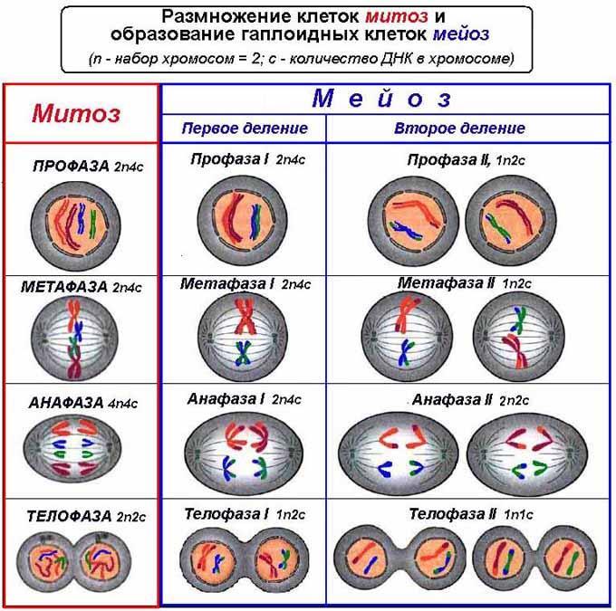 Размножение-клеток.Митоз-и-мейоз11