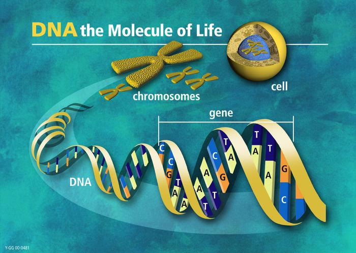 О наборе хромосом и хроматиновых нитей ДНК