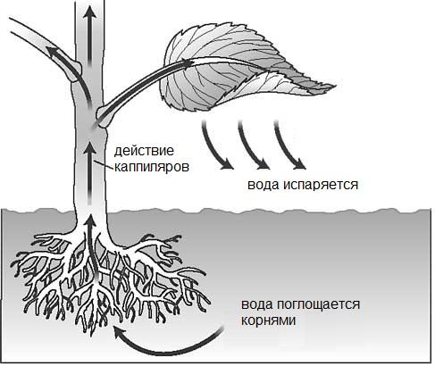 Транскирация,капиллярные явления,поглощение воды корнями