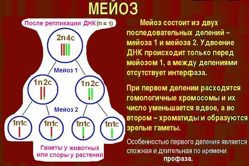 Мейоз II — проблемы в понимании