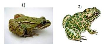 17.5 Озерная лягушка и зеленая жаба