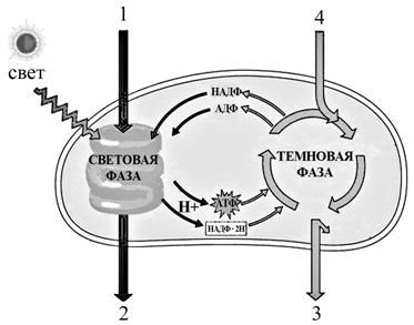 19.7. Схема фотосинтеза