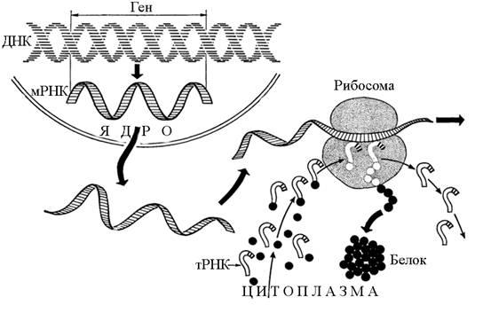 20.3. Биосинтез белка