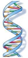 3.1 Модель ДНК