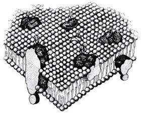 3.4. Какова функция клеточной структуры