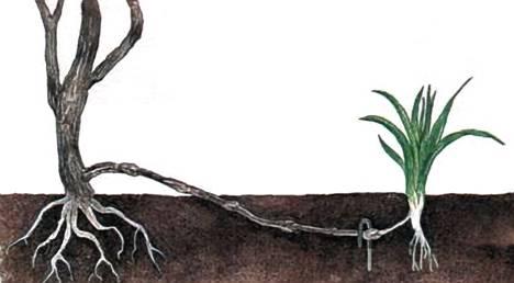 49.4. Размножение растний отводками