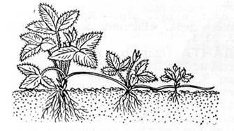49.9. Размножение растений усами