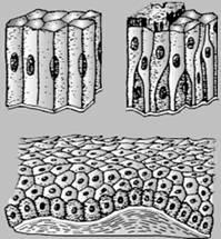 5.1. Виды тканей