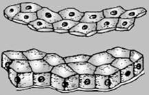 9.6. Эпителиальная ткань